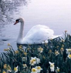 swan_for_saint-saens_1.jpg